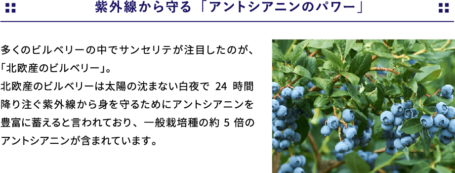 紫外線から守る「アントシアニンのパワー」パワー多くのビルベリーの中でサンセリテが注目したのが、「北欧産のビルベリー」。北欧産のビルベリーは太陽の沈まない白夜で24時間降り注ぐ紫外線から身を守るためにアントシアニンを豊富に蓄えると言われており、一般栽培種の約5倍のアントシアニンが含まれています。